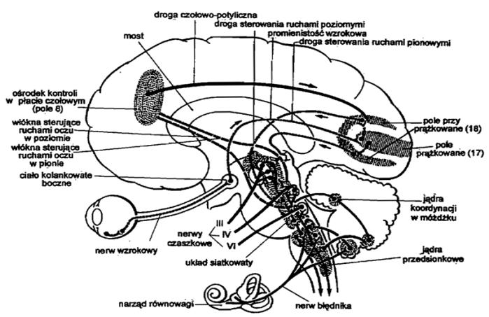 kontrola-mozgowa-ruchow-oczu